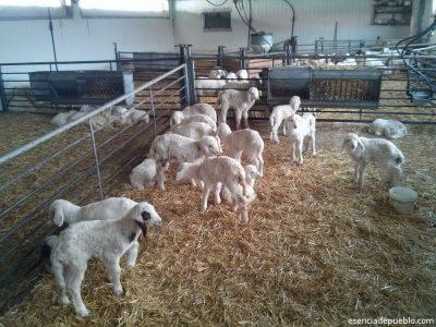 Corderos de la quesería Hontanar, de Aguilar del Alfambra