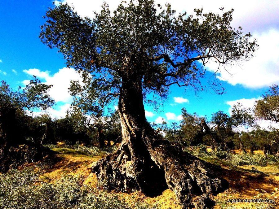 Apadrina un olivo